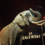 cyrk_zalewski_reportaż_warszawa_słoń_zwierzęta_za_kulisami_namiot_cyrkowy_foka_akrobacje_kula_śmierci_konie_wielbłądy0352